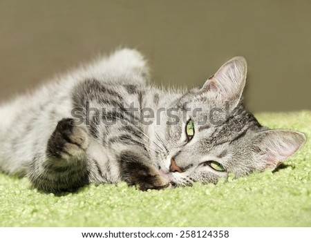 Sleeping cat in natural home background, lazy cat face close up, small sleepy lazy cat, domestic animal on siesta time,desaturated photo, young playful cat, cat playing, cat in dirty blur background - stock photo