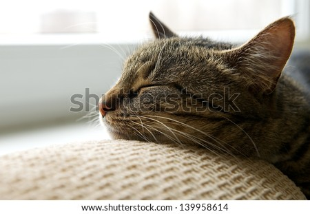 Sleeping cat on a sofa, sleeping cat face close up, small lazy kitten on day time, domestic pet, relaxing cat - stock photo