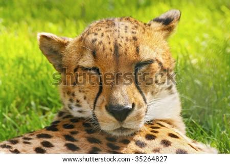 Sleeping cheetah; Acinonyx Jubatus - stock photo