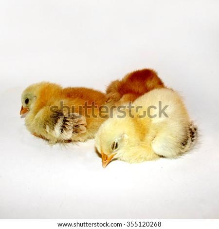 Sleeping Chicks - stock photo