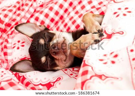 sleeping Chihuahua - stock photo