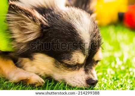Sleeping Chihuahua on the grass , Lovely - stock photo