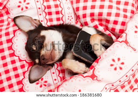 sleeping Chihuahua with phone - stock photo