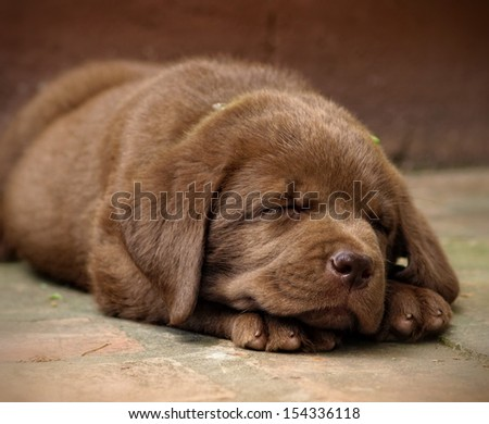Sleeping chocolate labrador puppy