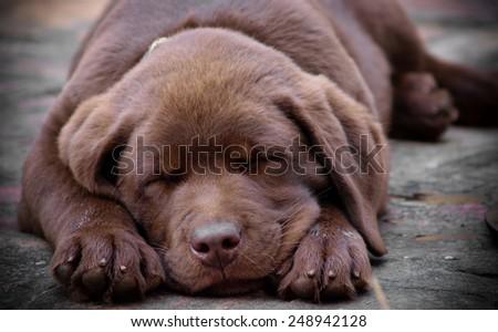 Sleeping chocolate labrador puppy - stock photo