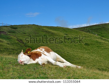 sleeping cow on a high mountain pasture. Alps, Italy. - stock photo