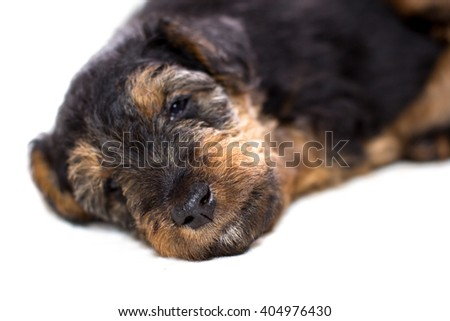 sleeping cute airedale terrier puppie close-up - stock photo