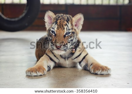 Sleeping cute baby tiger. Small tiger cub. Funny baby tiger. - stock photo