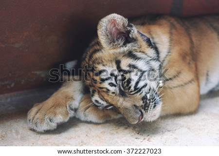 Sleeping Cute Baby Tiger Small Cub Funny Sleep On The Floor