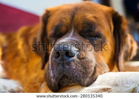Sleeping dog. Bernard dog. Shallow depth of field.  - stock photo