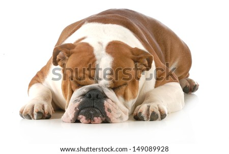 sleeping dog - english bulldog sleeping isolated on white background  - stock photo