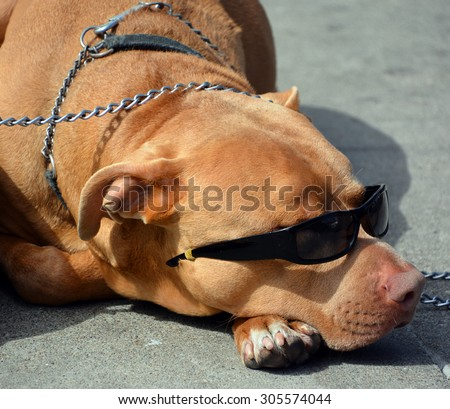 Sleeping dog wear sunglasses - stock photo