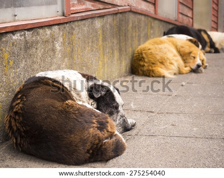 sleeping dogs in in Patagonia - stock photo