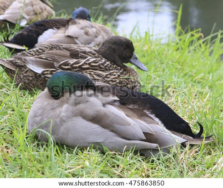Sleeping ducks near a river