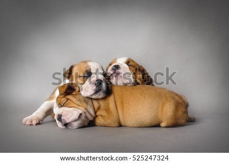 Sleeping English bulldog puppies on grey background