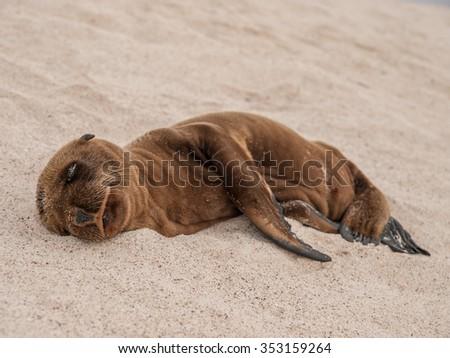 Sleeping furry baby sea lion on a sandy beach, Galapagos Islands, Ecuador. - stock photo