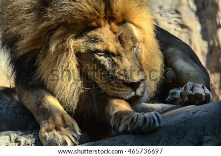 Sleeping giant African male lion