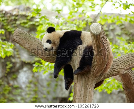 Sleeping giant panda baby - stock photo