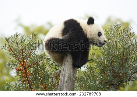 Sleeping giant panda. Cub of Giant panda bear playing on tree. Panda bear tired and sleeping in tree. Cute young silly-looking panda sitting on a tree. Ailuropoda melanoleuca - stock photo