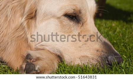 Sleeping Golden Retriever - stock photo
