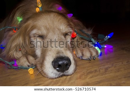 sleeping golden retriever dog on wood floor with glowing Christmas lights