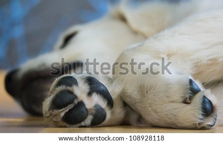 Sleeping Golden Retriever Puppy - stock photo