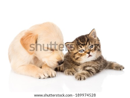 sleeping golden retriever puppy dog and british cat together. isolated on white background - stock photo