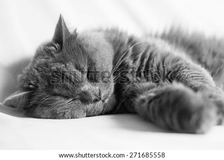 sleeping gray chinchilla cat, black and white