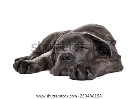 sleeping grey cane corso puppy dog inlaying down front of a white background - stock photo