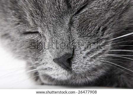 Sleeping grey kitten close up - stock photo