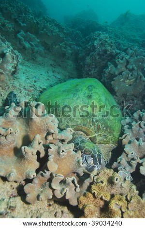 sleeping hawksbill turtle on reef coral - stock photo