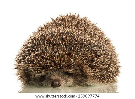 Sleeping hedgehog isolated on white background - stock photo