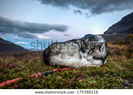 sleeping Husky after Sunset - stock photo
