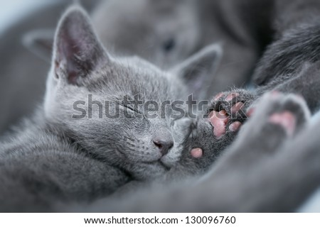 "Sleeping kitten (breed ""Russian Blue"") on a blue background - stock photo"