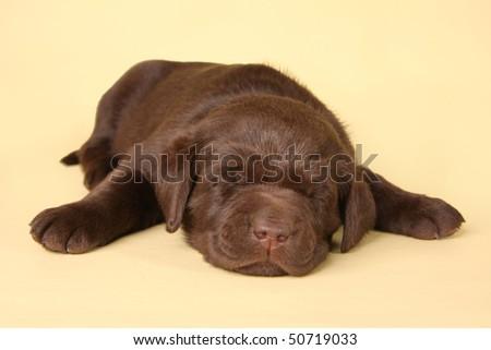 Sleeping labrador retriever puppy - stock photo