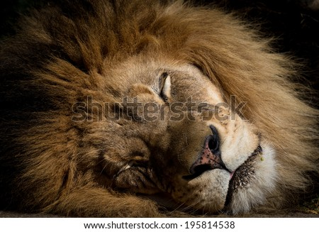Sleeping lion - stock photo