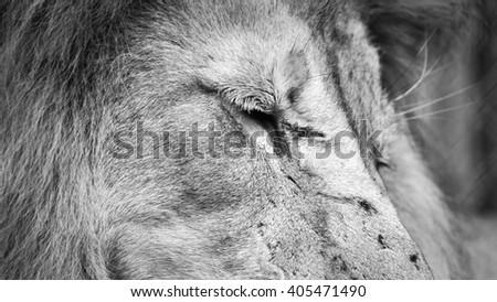 Sleeping Lion - stock photo