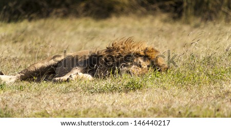 Sleeping Lion In The Wilderness In Tanzania