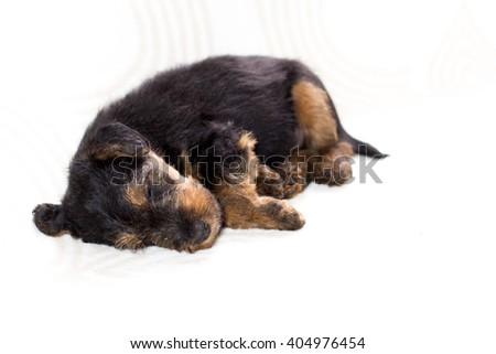 Sleeping little Airedale terrier on a white background - stock photo