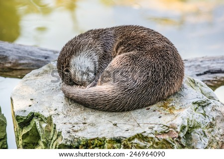 Sleeping Lutra lutra commonly known as European otter or Eurasian river otter - stock photo