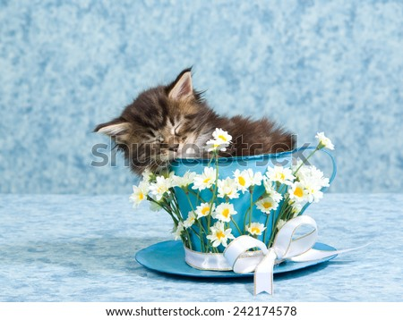 Sleeping Maine Coon kitten sitting inside blue cup and saucer decorated with white daisy flowers and ribbons bows on light blue background  - stock photo
