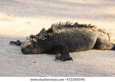 Sleeping marine iguana