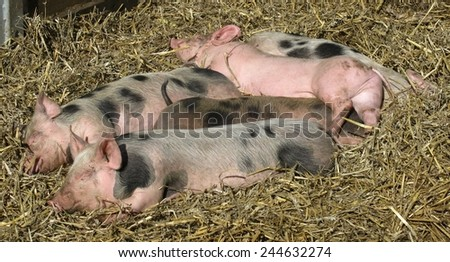 Sleeping mottled and pink piglets in the straw - stock photo