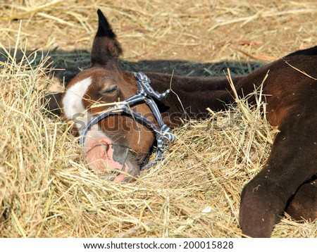 Sleeping on hay thoroughbred horse foal - stock photo