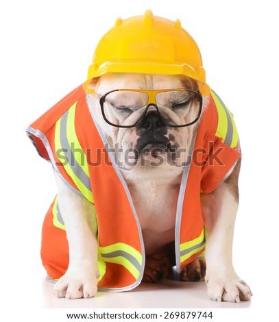 sleeping on the job - bulldog dressed up like construction worker on white background - stock photo