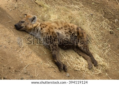 Sleeping or resting Spotted Hyena - stock photo