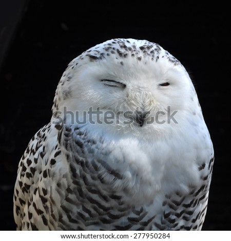 Sleeping owl, bubo scandiacus - stock photo