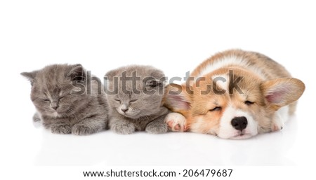 sleeping Pembroke Welsh Corgi puppy and two kittens. isolated on white background