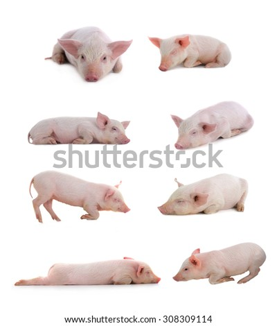 sleeping pigs on a white background. studio