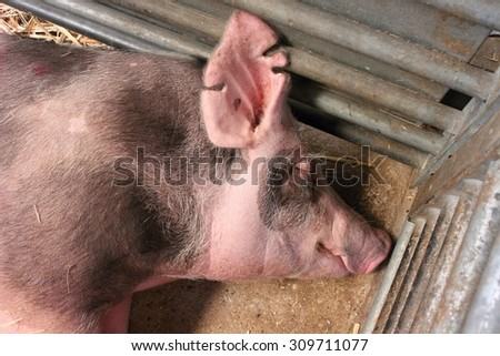 Sleeping pink pig in the shed on straw